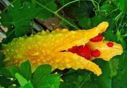 Обзор экзотического овоща Момордика или Индийский гранат
